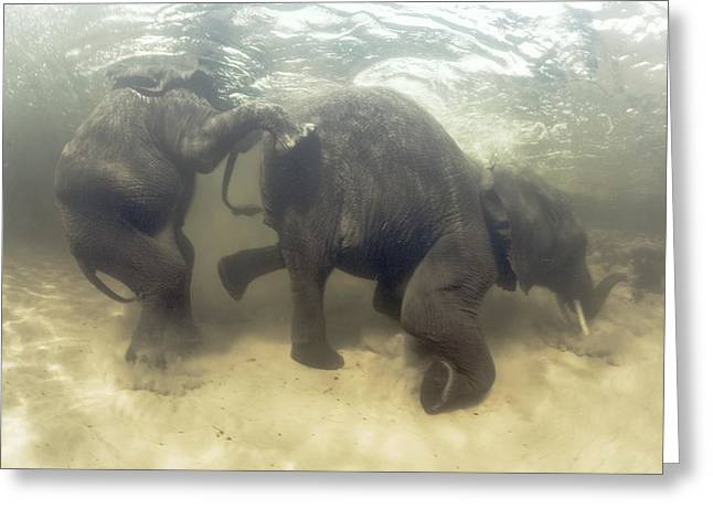African Elephants Swimming Greeting Card by Peter Scoones