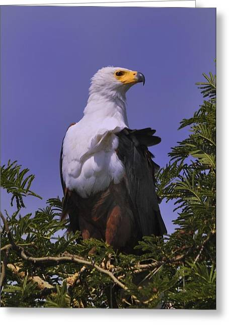 African Fish Eagle Greeting Card by Richard Matthews
