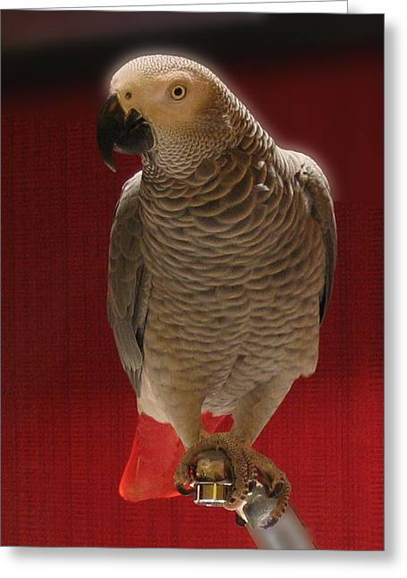 African Grey Parrot Orteil Blanc Greeting Card by Jonathan Whichard