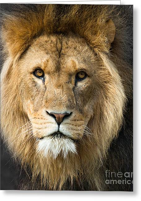 African Lion Greeting Card by Andrew  Michael