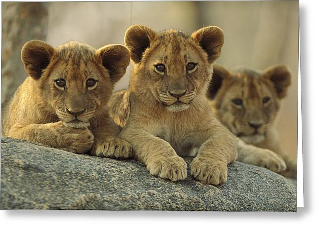 African Lion Three Cubs Resting Greeting Card by Tim Fitzharris