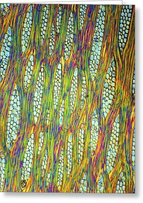 African Mahogany Stem, Light Micrograph Greeting Card
