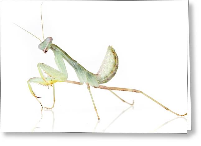 African Praying Mantis Greeting Card