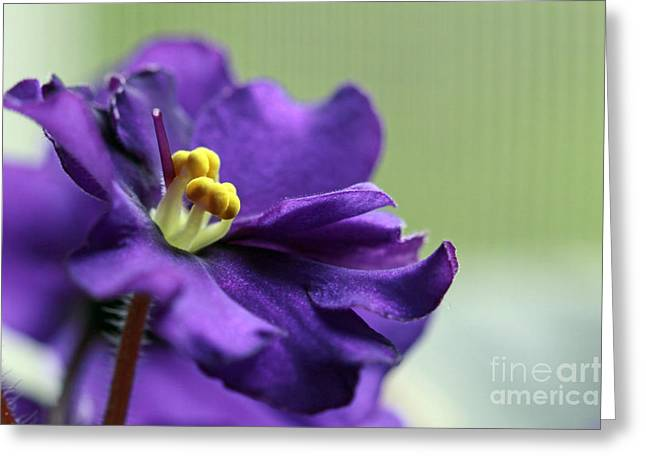 Greeting Card featuring the photograph African Violet by Denise Pohl