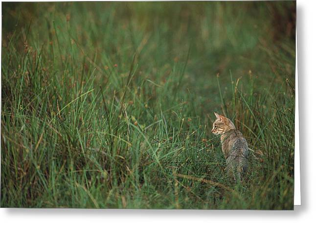 African Wild Cat Felis Lybica Sitting Greeting Card by Pete Oxford