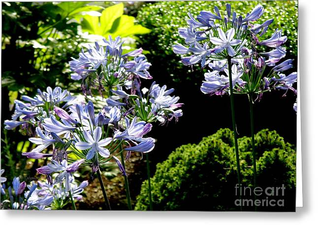 Greeting Card featuring the photograph Agapanthus by Tanya  Searcy