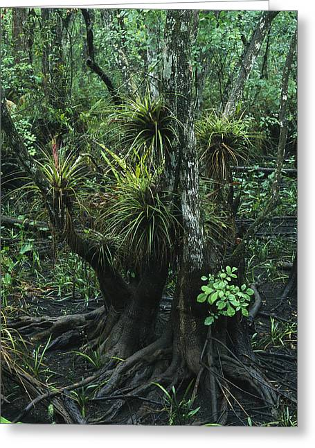 Air Plants Adorn The Trees In South Greeting Card