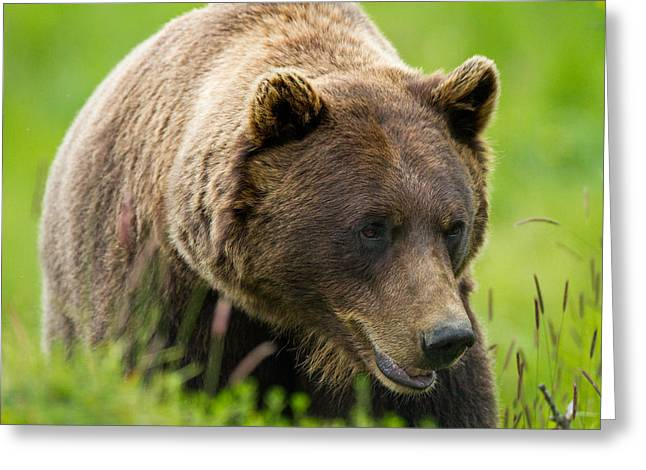 Alaskan Grizzly Greeting Card by Adam Pender