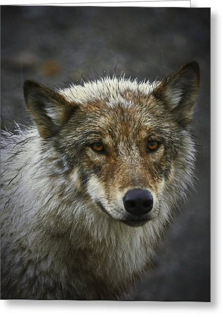 Alaskan Wolf Greeting Card