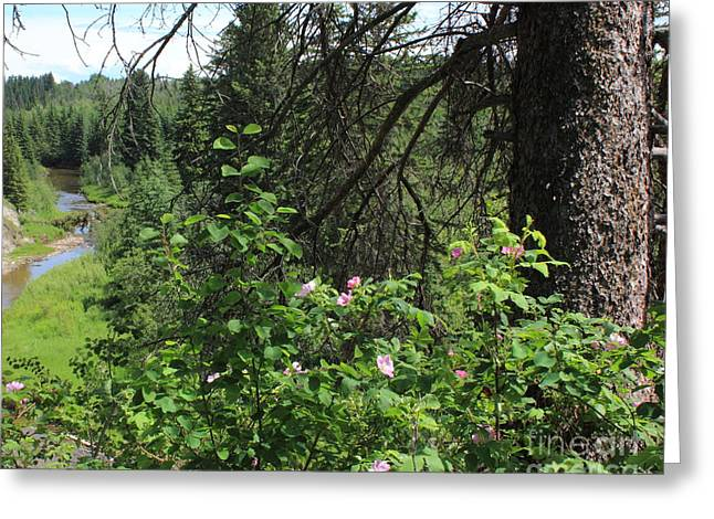 Alberta Is Wild Rose Country Greeting Card