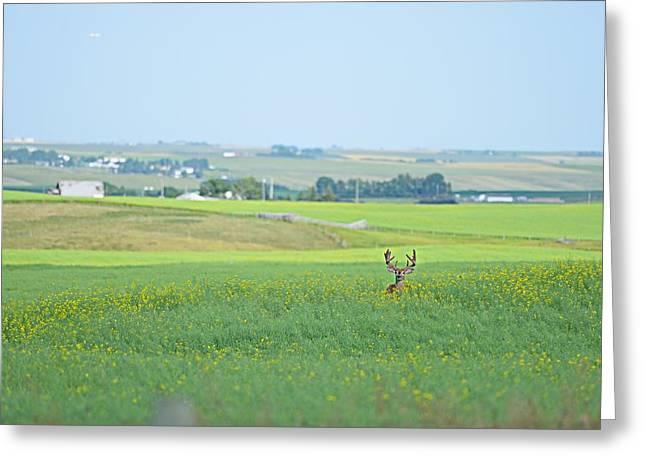 Alberta White Tail Greeting Card