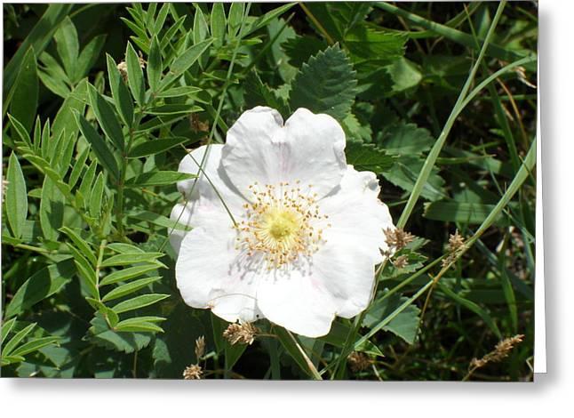 Alberta Wild Prickly White Rose Greeting Card by Mark Lehar
