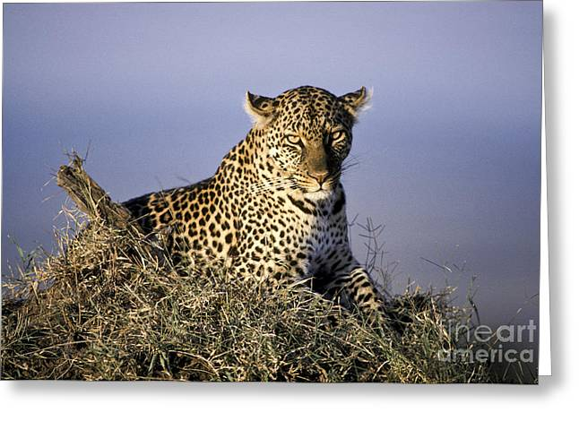 Alert Female Leopard Greeting Card by Greg Dimijian