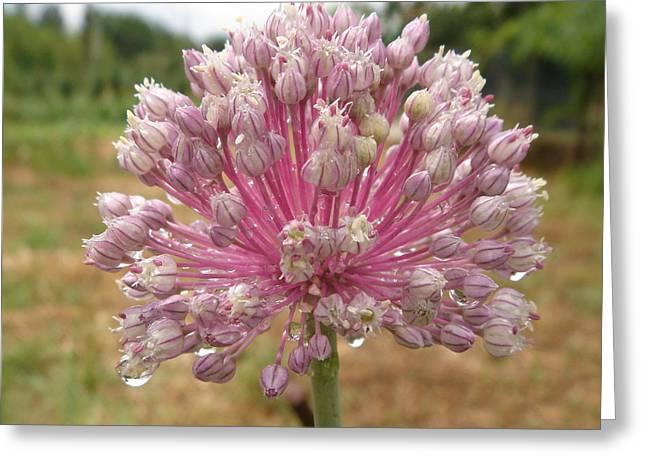 Alium Flower After Rain Greeting Card by Christopher Mullard