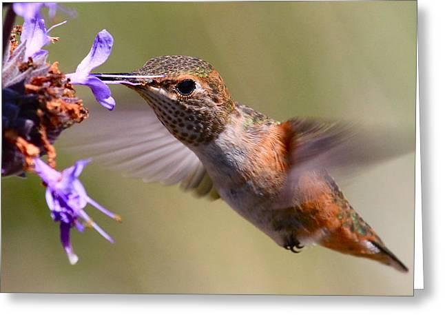 Allen's Hummingbird Greeting Card
