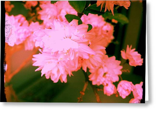 Greeting Card featuring the photograph Almond Blossoms by Paul Cutright