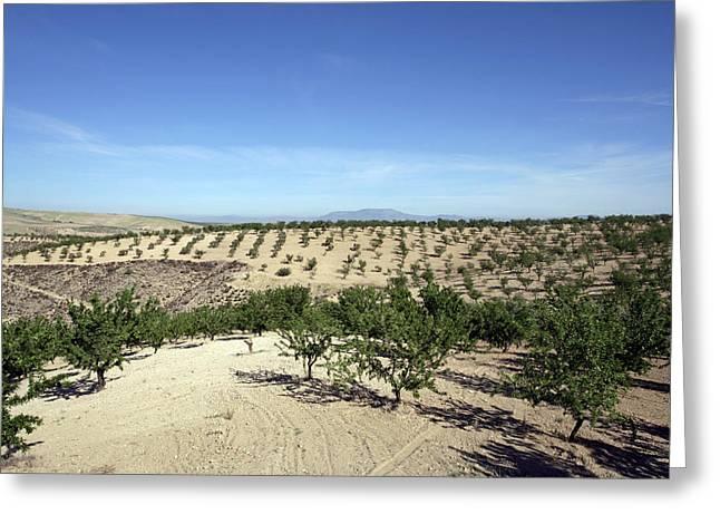 Almond Plantation Greeting Card
