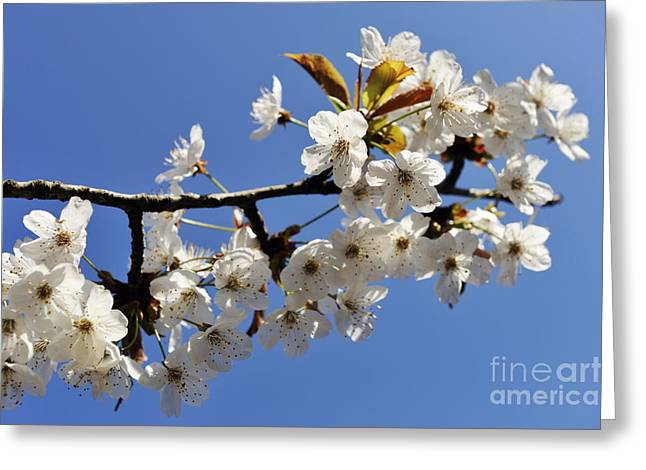 Almond Tree In Flower At Spring Greeting Card by Sami Sarkis