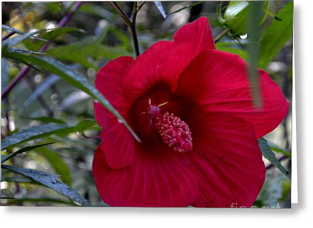 Almost Opened Hibiscus Greeting Card by Eva Thomas