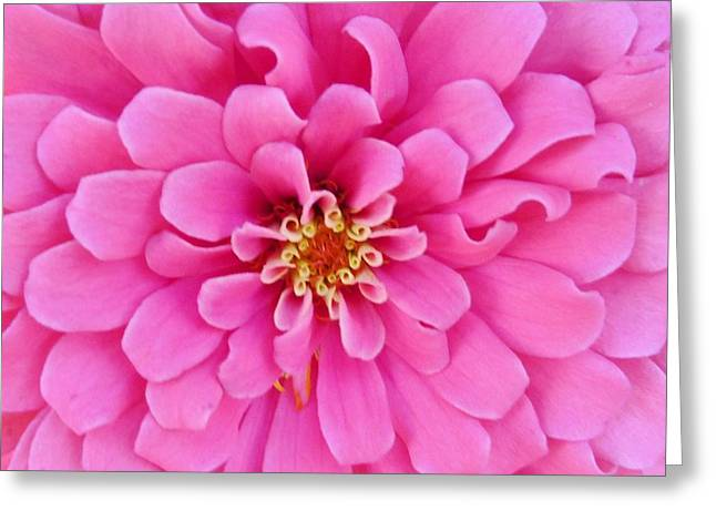Almost Perfect Zinna Greeting Card by Jeanette Oberholtzer