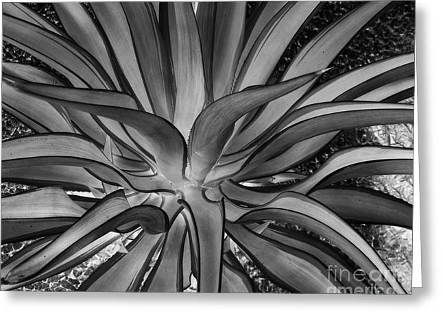 Aloe Black And White Greeting Card by Rebecca Margraf
