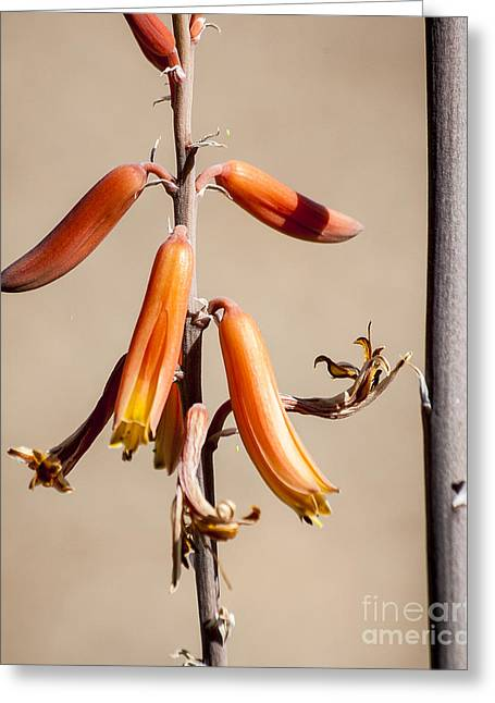 Aloe Flower And Stem Greeting Card by Darcy Michaelchuk