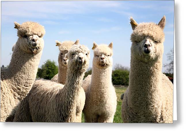 Greeting Card featuring the photograph Alpacas by David Harding
