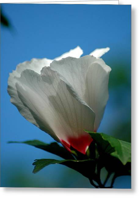 Althea Flower Greeting Card by David Weeks