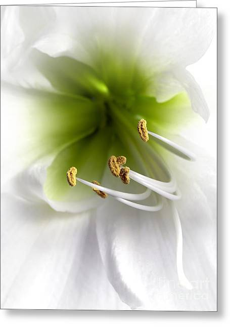Amaryllis  Greeting Card by Jane Rix