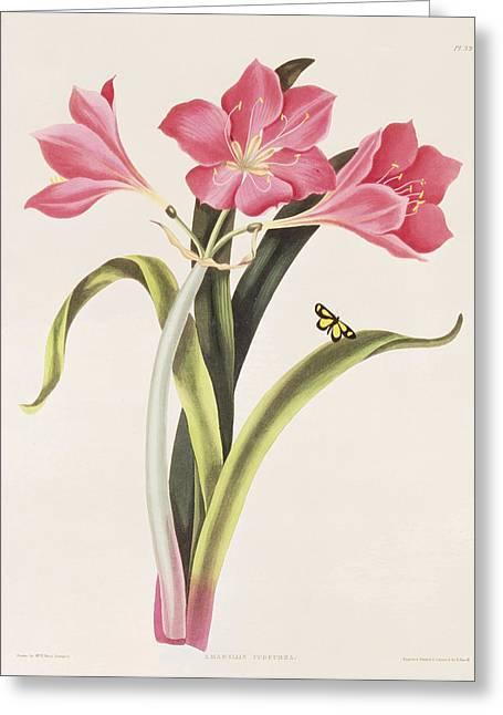 Amaryllis Purpurea Greeting Card by Robert Havell