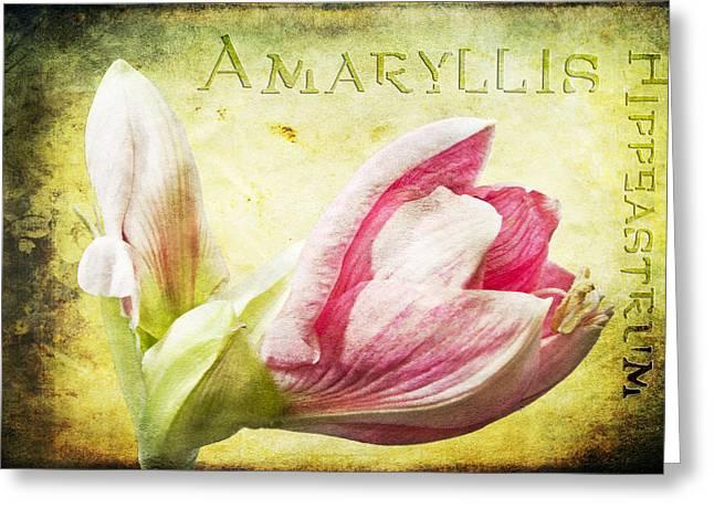Amaryllis Greeting Card