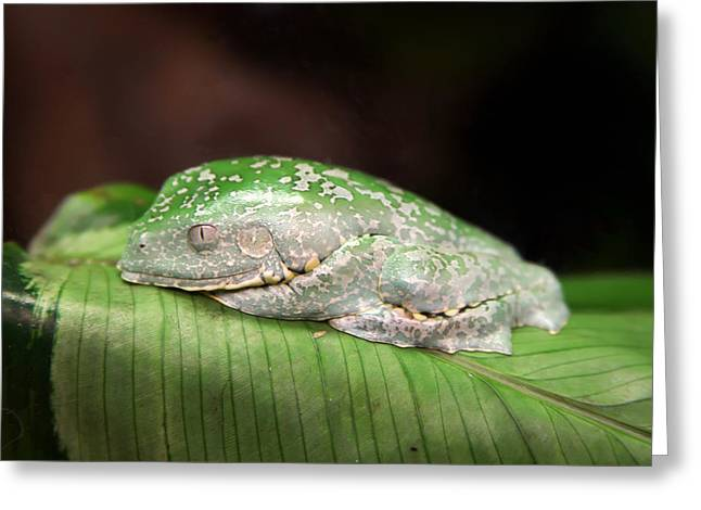 Amazon Leaf Frog Greeting Card by Brad Granger