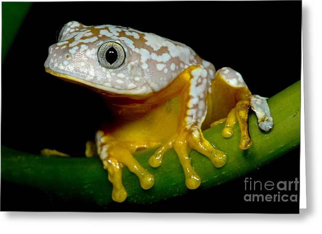 Amazon Leaf Frog Greeting Card by Dante Fenolio
