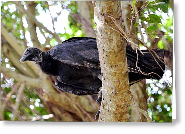Greeting Card featuring the photograph Amercan Black Vulture by Pravine Chester