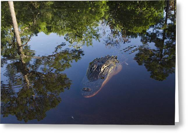 American Alligator In The Okefenokee Swamp Greeting Card by Pete Oxford