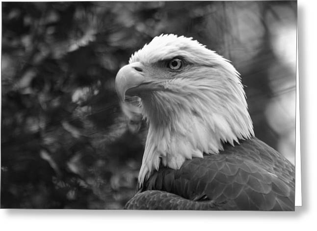 American Bald Eagle Greeting Card by David Rucker