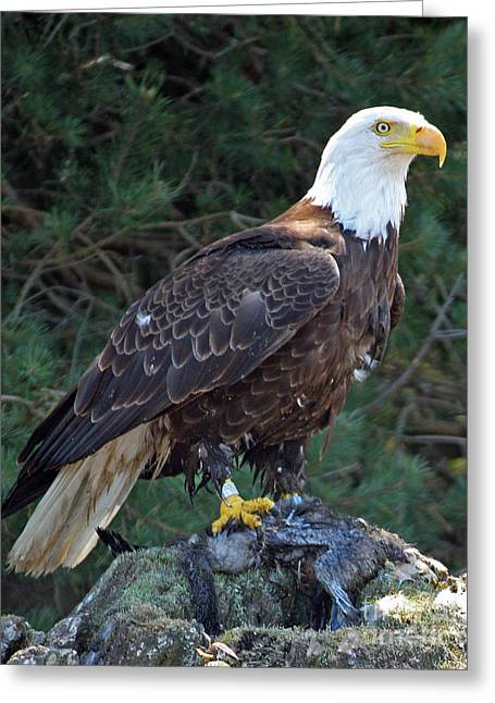 American Bald Eagle Greeting Card by Kathy Eastmond