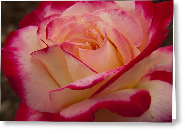 American Beauty Rose Greeting Card by Darleen Stry