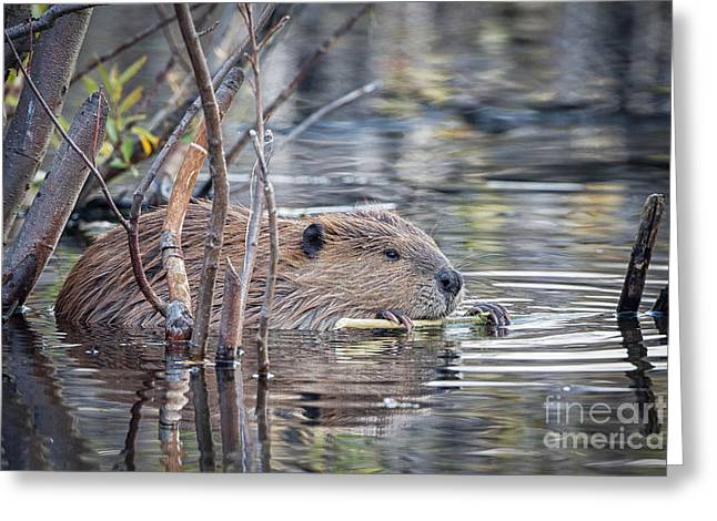 American Beaver Greeting Card