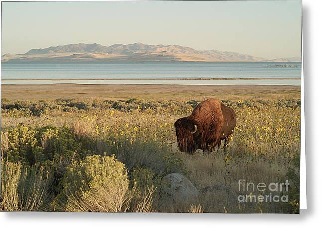 Greeting Card featuring the photograph American Bison Antelope Island Utah by Doug Herr