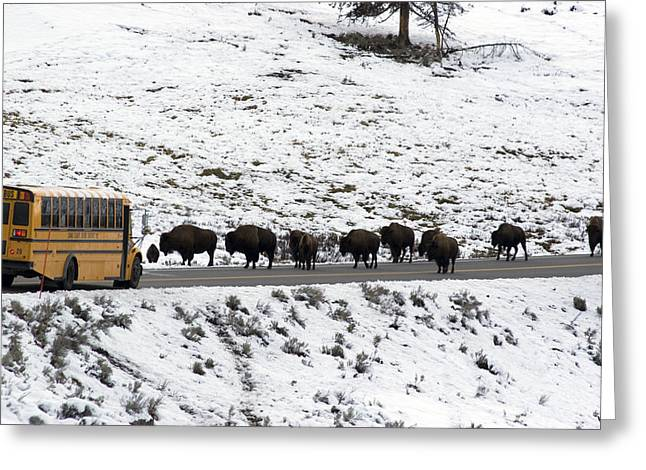 American Bison In The Road Halt Traffic Greeting Card by William Allen