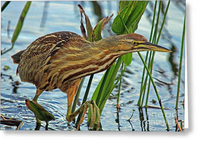 Greeting Card featuring the photograph American Bittern by Larry Nieland