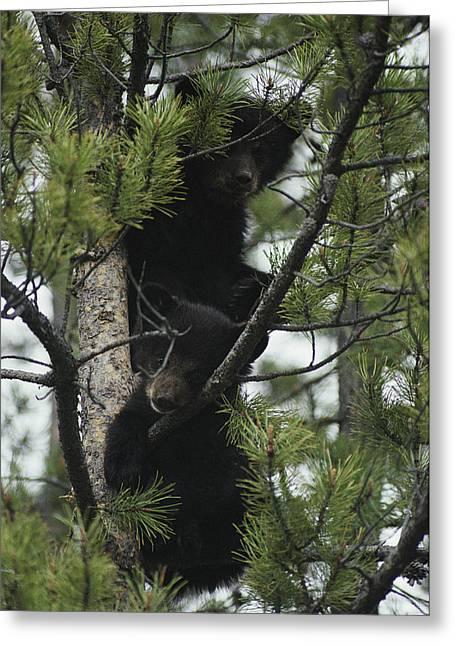 American Black Bear Cubs  Climb Greeting Card by Michael S. Quinton