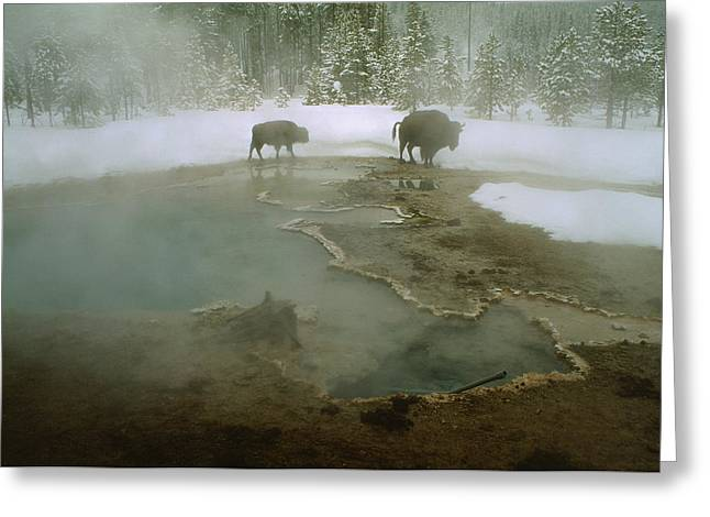 American Buffalo Bison Bison Mill Greeting Card by O. Louis Mazzatenta