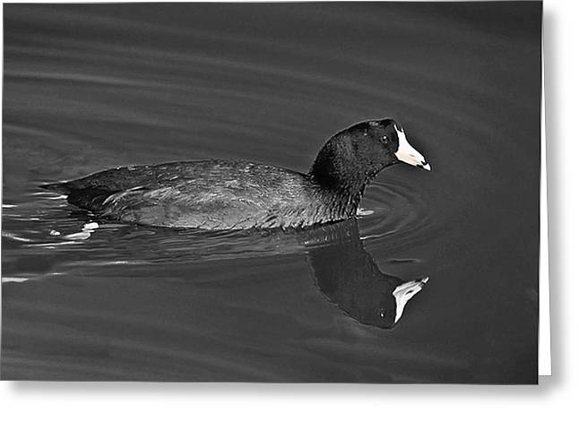 American Coot Greeting Card by Bob and Nadine Johnston