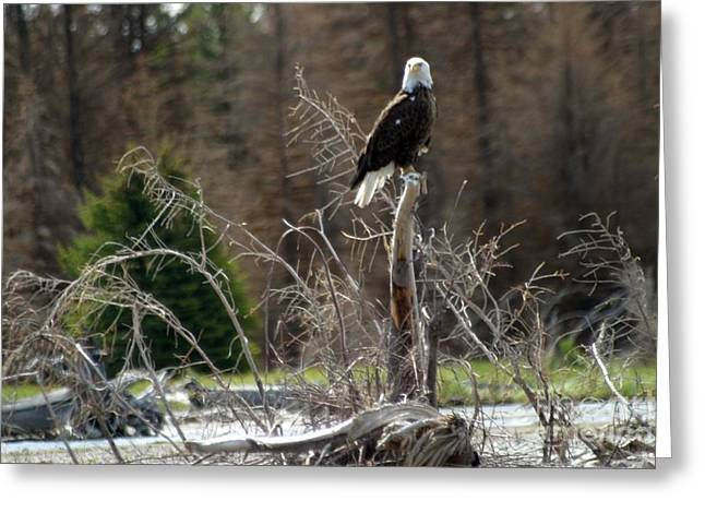 American Eagle On Snake River Greeting Card by Living Color Photography Lorraine Lynch