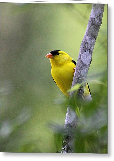 American Goldfinch - Peaceful Greeting Card by Travis Truelove