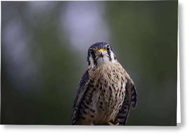 American Kestrel Greeting Card by Richard Lee