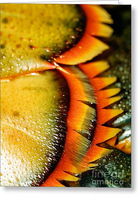 American Lobster Closeup In Chatham On Cape Cod Greeting Card by Matt Suess