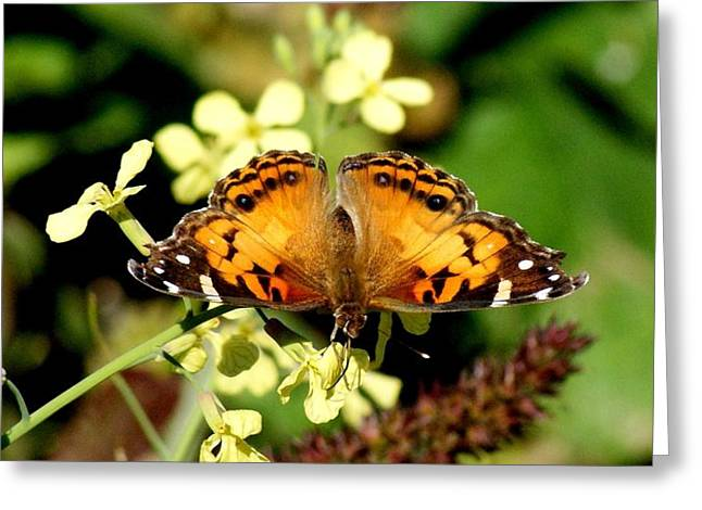 American Painted Lady I Greeting Card by Bruce W Krucke